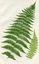 Lady Fern Print (No. 11290294)