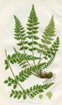 Spleenwort Fern Print (No. 11290295)