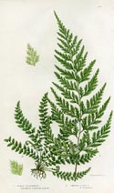 Spleenwort Fern Print (No. 11290296)