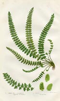 Spleenwort Fern Print (No. 11290299)