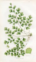 Maidenhair Fern Print (No. 11290304)