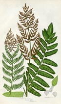 Flowering Fern Print (No. 11290307)