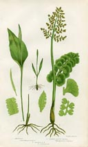Moonwort Fern Print (No. 11290308)