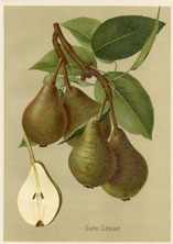 Fruit Prints - Pears (No. 11430101)