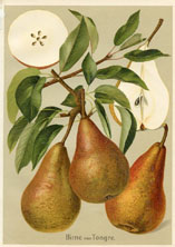 Fruit Prints - Pears (No. 11430102)