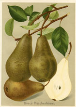 Fruit Prints - Pears (No. 11430103)