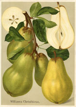 Fruit Prints - Pears (No. 11430104)