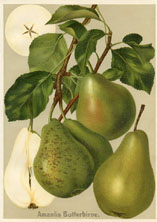 Fruit Prints - Pears (No. 11430105)