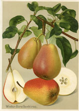 Fruit Prints - Pears (No. 11430106)