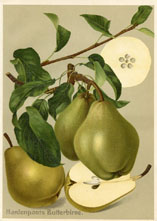 Fruit Prints - Pears (No. 11430107)