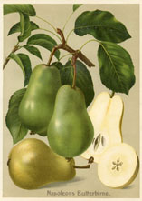 Fruit Prints - Pears (No. 11430108)