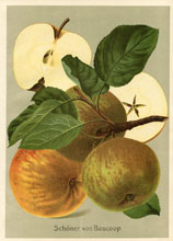 Fruit Prints - Apples (No. 11430110)