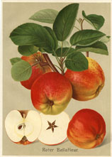 Fruit Prints - Apples (No. 11430114)