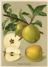 Fruit Prints - Apples (No. 11430116)