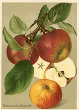 Fruit Prints - Apples (No. 11430117)