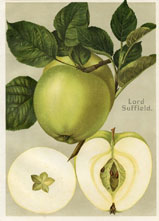 Fruit Prints - Apples (No. 11430119)