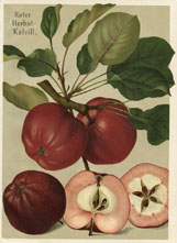 Fruit Prints - Apples (No. 11430120)