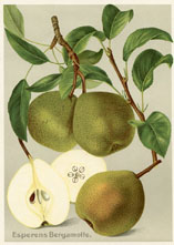 Fruit Prints - Pears (No. 11430301)