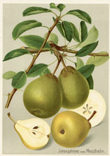 Fruit Prints - Pears (No. 11430302)