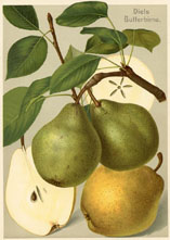 Fruit Prints - Pears (No. 11430305)