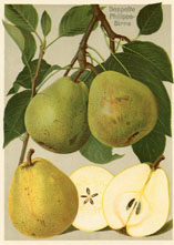 Fruit Prints - Pears (No. 11430309)