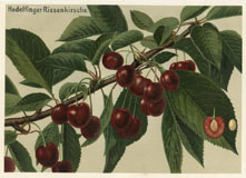 Fruit Prints - Cherry (No. 11430802)
