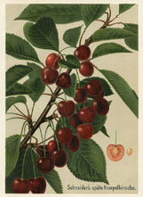 Fruit Prints - Cherry (No. 11431202)