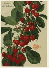 Fruit Prints - Cherry (No. 11431204)