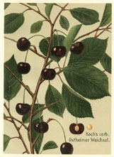 Fruit Prints - Cherry (No. 11431205)