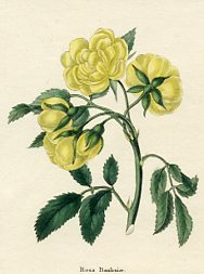Botanical Print - Rose (No. 11560197)