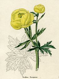 Botanical Print - Globeflower (No. 11560209)
