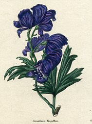 Botanical Print - Monkshood (No. 11560210)