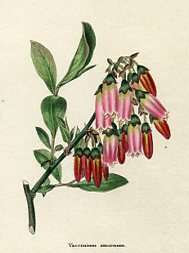 Botanical Print - Whortleberry (No. 11560211)
