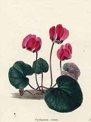 Botanical Print - Cyclamen (No. 11560229)