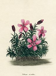 Botanical Print - Catchfly (No. 11560232)