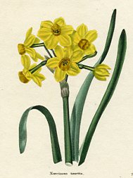 Botanical Print - Narcissus (No. 11560244)