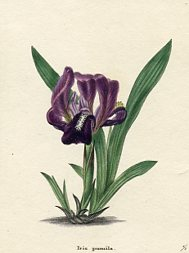 Botanical Print - Iris (No. 11560263)