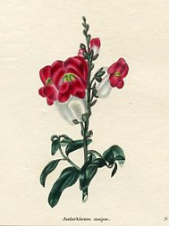 Botanical Print - Snapdragon (No. 11560279)