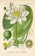 Waterlily Print (No. 11720257)