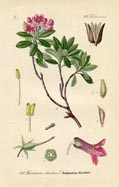 Rhododendron Print (No. 11720461)