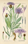 Knapweed Print (No. 11720594)