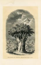 Dragon Tree Print (No. 11861006)