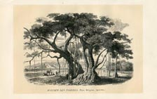 Sacred Fig Tree Print (No. 11861015)
