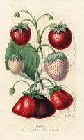 Fruit Prints - Strawberry (No. 11890001)