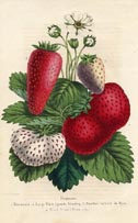 Fruit Prints - Strawberry (No. 11890002)