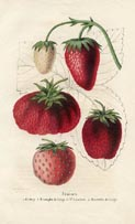 Fruit Prints - Strawberry (No. 11890003)