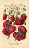Fruit Prints - Strawberry (No. 11890004)
