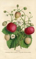 Fruit Prints - Strawberry (No. 11890005)