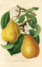 Fruit Prints - Pears (No. 11890708)