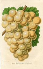 Fruit Prints - Grapes (No. 11890710)